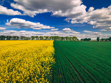 Field Of Rapeseed And Field Of Green Wheat With Beautiful Clouds - Plant For Green Energy