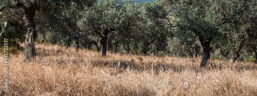 Fotografiet Dry Yellow Golden Grass in Green Olive Garden Growing on Hillside of Mountain -
