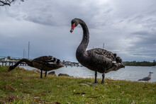 Two Black Swans Walking On Grass