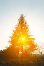Rural Home And Spruce Tree With Sun Rays Through The Mist. Sunlight Streaming Through Tree, Countryside Landscape