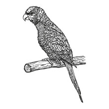 Parrot, Hand Drawn In Ink Realistic Sketch. Exotic Tropical Bird Sitting On Branch. Outline Graphic Design In Vintage Style. Black And White Drawing Bird. Isolated Image Of Animal. Jungle Fauna.