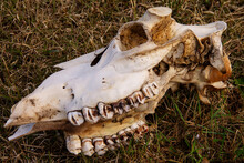 The Skull Of A Cow, Gnawed By Predators, With Its Horns Cut Off On Last Year's Grass