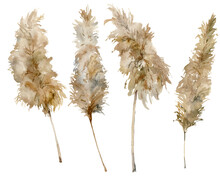 Watercolor Exotic Set Of Dry Pampas Grass. Hand Painted Tropical Plant Isolated On White Background. Floral Illustration For Design, Print, Fabric Or Background.