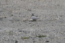 Little Tern Is Brooding Of Eggs