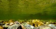 Underwater Sockeye Salmon