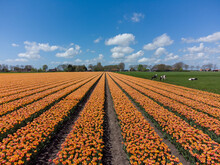 Orange Tulip Flower Fields In The Netherlands With Grazing Cows
