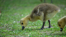 Close-up Of Two Goslings Grazing, Looking For Food In A Field