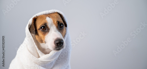Obraz na plátně Portrait of a cute dog Jack Russell Terrier wrapped in a white terry towel on a