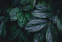 Close Up Of Natural Wet Peony Leaves Texture With Dew Drops. Dark Green Moody Abstract Spring Summer Nature Background.