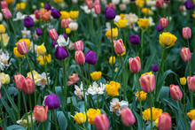 Background Image Of Purple, Pink, Yellow And Red Tulips In A Meadow