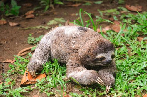 Fototapeta premium Three-toed sloth bear lying on the grass