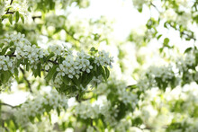 Tree With Beautiful White Blossom Outdoors On Spring Day