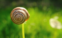 Snail Shell Hanging On A Dandelion