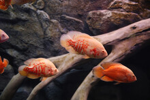 Beautiful Albino Oscar Fishes In Clear Aquarium