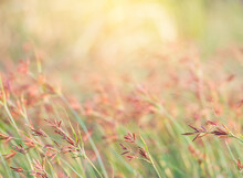 Pink Grass In Nature Landscape Of Winter Meadow Of Thailand,selection Focus Only Some Point In Image