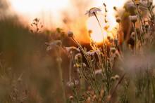 Beautiful Wild Flowers Growing In Spring Meadow