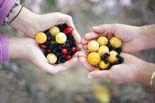 Handful Of Plums, Blackberries And Cranberries