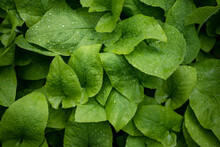 Top View Of Isolated Green Leaves With Rain Drops In Spring