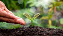 Seedlings That Grow On Fertile Soil And Hands Nourish The Plants As Well As Water The Seedlings With A Natural Green Background.