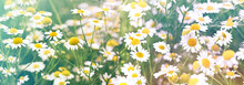 Field Of Daisies, Flowering Wild Chamomile In Meadow, Beautiful Nature In Spring