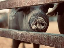 Cerdos 100% Ibéricos En Una Granja