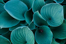 Background With A Close-up Of Blue And Green Japan Hosta Flower Leaves. Colorful Funkia Detail Foliage, Isolated Macro, Outdoors In The Spring Japanese Garden. Abstract Pattern Of Fresh Blossom Plant