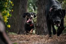 Perros Salchicha Jugando  Corriendo En El Parque.