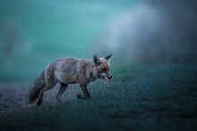 Red Fox With Prey Before Sunrise