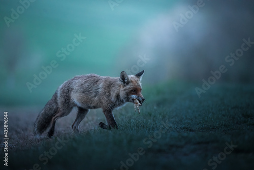 Fotomural red fox with prey before sunrise