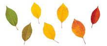 Colored Dry Autumn Leaves Isolated On White Background. Green, Yellow And Red Foliage. Top View, Flat Lay.
