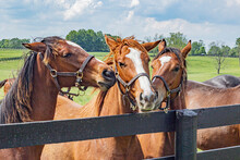 Three Thoroughbred Yearlings Along A Fence Interacting With Each Other.