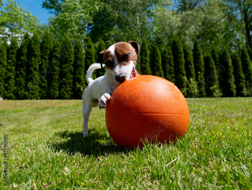 Jack Russell Terrier male play with basketball ball on a green grass Fototapeta