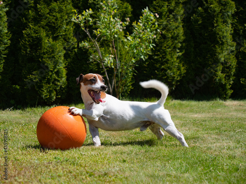 Fotografija Jack Russell Terrier male play with basketball ball on a green grass