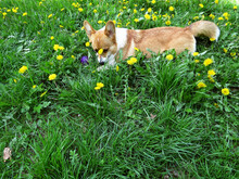 A Dog Of The Corgi Breed Plays With A Ball In The Grass And Yellow Flowers Of Dandelions. Funny Dog lies In The Grass