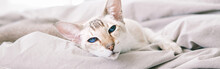 Beautiful Blue-eyed Oriental Breed Cat Lying Resting On Bed Looking At Camera. Domestic Pet With Blue Eyes Relaxing At Home. Adorable Furry Animal Feline Friend. Domestic Life. Web Banner Header.