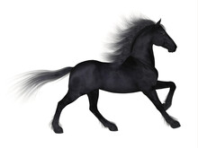 Friesian Horse - The Friesian Is A Distinctive Breed Of Black Horse Developed In Netherlands As A Light Draft To Do Farm Work.