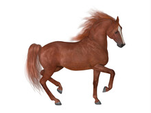 Thoroughbred Stallion - The Thoroughbred Is Best Known For Horse Racing And Can Come In Various Coat Colors And Known For Their Speed, Spirit And Endurance.