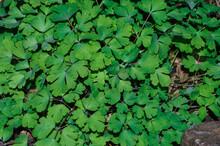 Closeup Shot Of Green Clover Moss