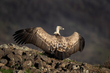 Griffon Vulture In The Rhodope Mountains. Vultures Warmer On The Sun. Bulgarian Wildlife. Calm Scavenger Sit On The Rock.