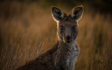 Cute Kangaroo Looking At The Camera Questioningly In A Savanna With Blurred Background