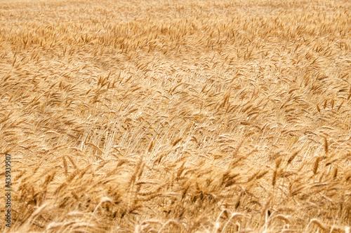 風に揺れる小麦の穂 Fototapet