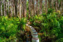 Paperbark Forest Boardwalk In Agnes Water, Queensland, Australia