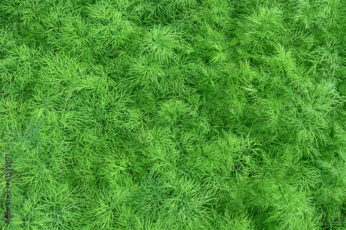 Murais de parede Fragment of a greenhouse bed with young dill close-up