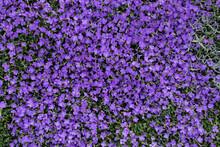 Aubrieta Flower Carpet, Beautiful Groundcover In Garden. Purple Nature Carpet