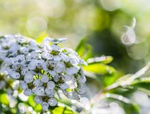 White Flowers Thunberg Spirea, Spiraea Thunbergii, After Rain. Bokeh With Sunlight Reflection