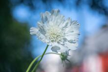 Scabiosa Caucasica Caucasian Pincushion Flowers In Bloom, Scabiosus Flowering Ornamental Plant