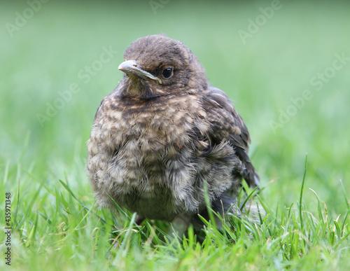 Fotografie, Obraz Small Blackbird (Turdus merula) on grass