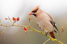 Beautiful Bohemian Waxwing, Bombycilla Garrulus, Eating Frozen Rosehip From Bush In Winter. Bird Feeding Itself In Wintry Scenery. Feathered Animal Holding Hip In Beak On Bush.