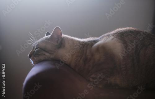 Fotografie, Obraz Side profile of sleeping cat