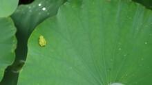 A Frog On A Lotus Leaf
